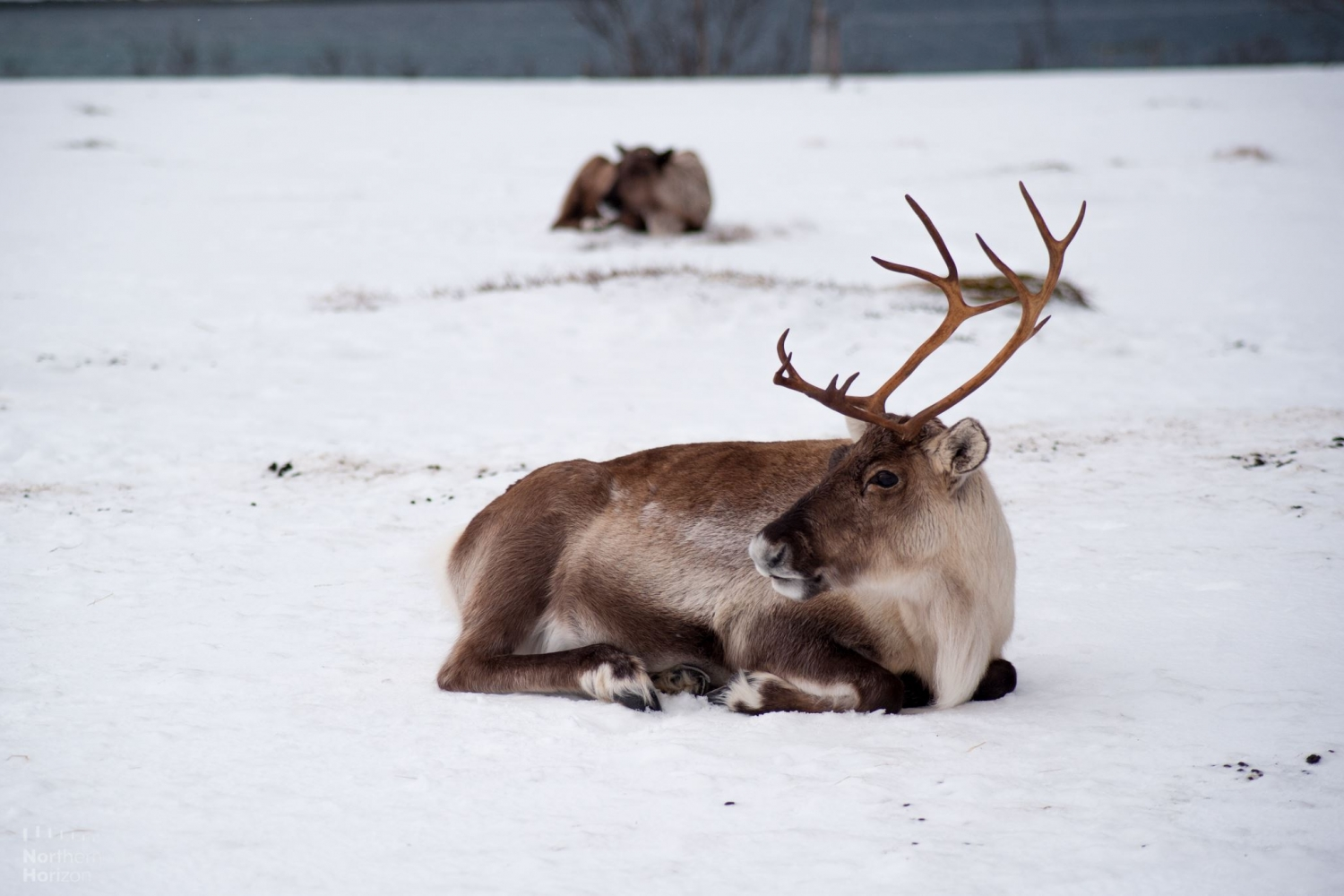 Reindeer resting in the snow