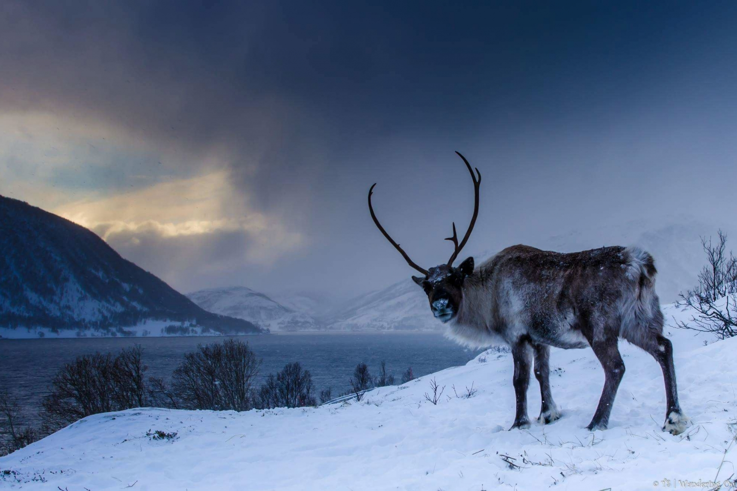 Reindeer with sea and snowy mountain in the background