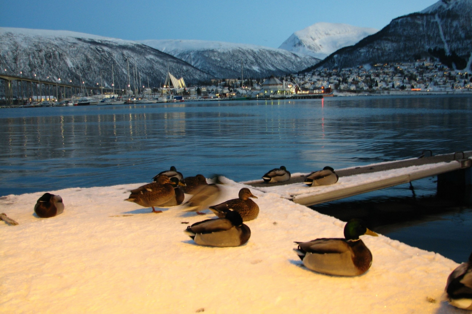 ducks at the harbour, view to the Arctic Cathedral