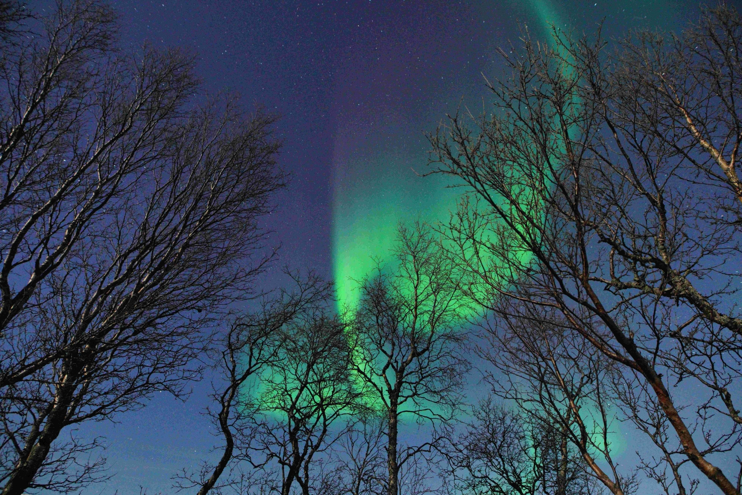 Northern lights above tree tops