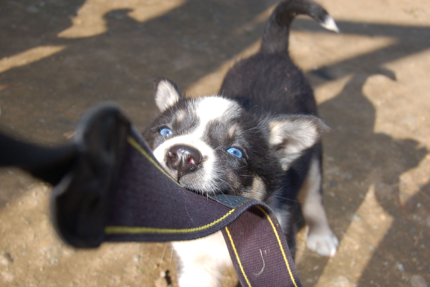 Husky puppy playing