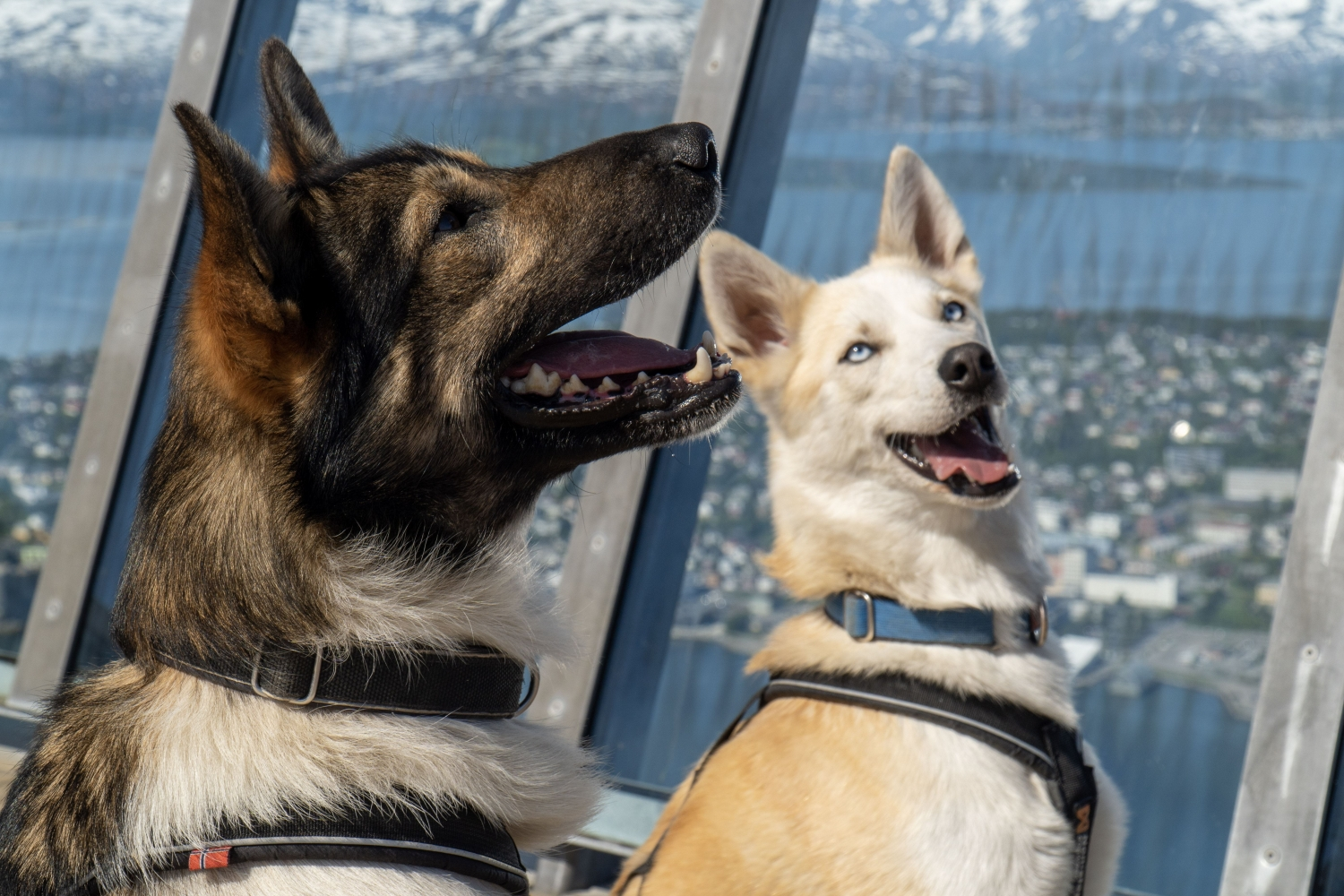 Two huskies in the cable car