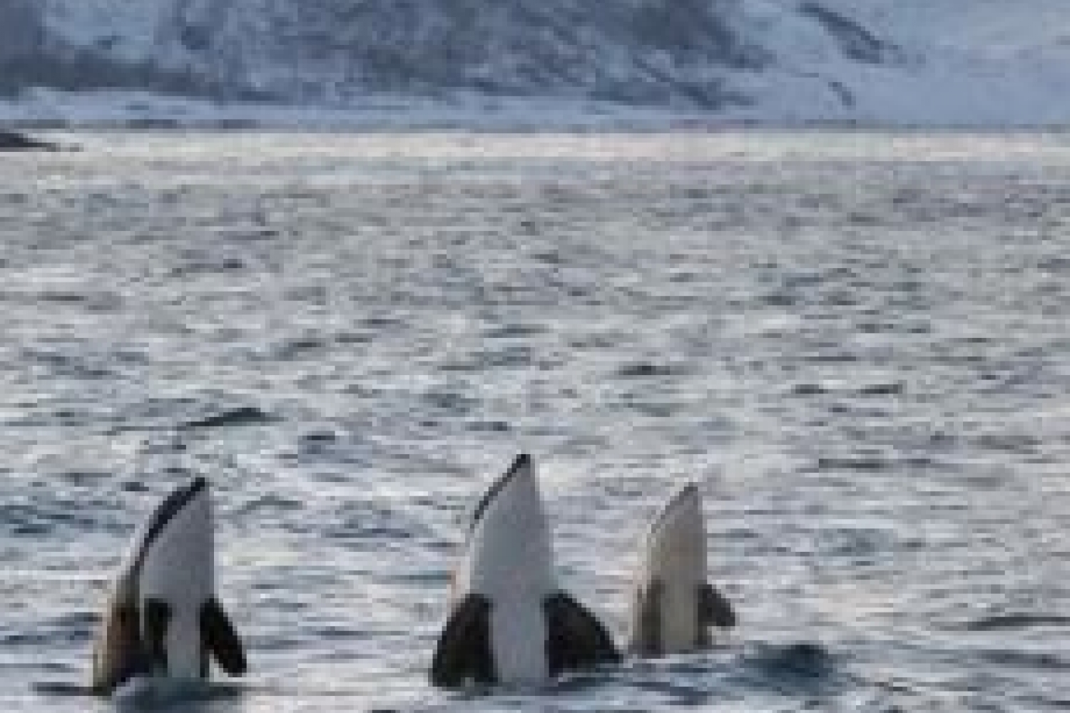 three orcas
