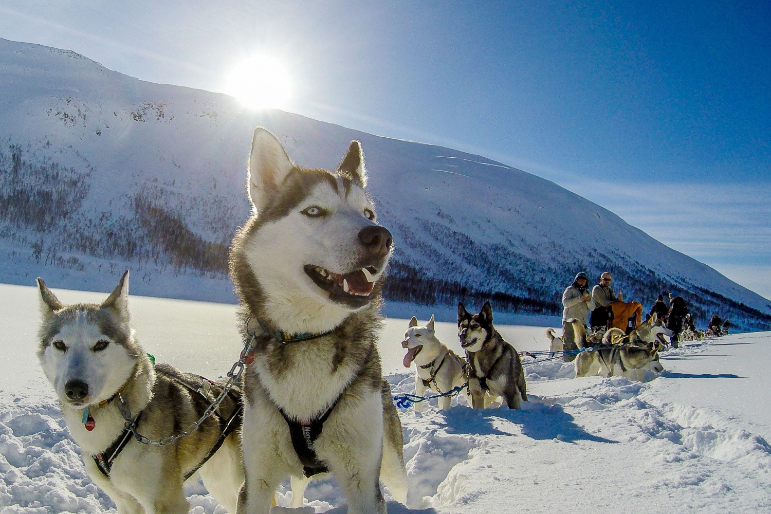 Alaskan husky dog sled in a sunny and snowy landscape